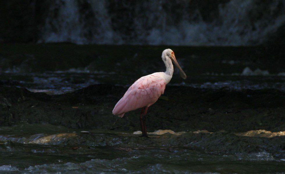 Roseate Spoonbill at Rio Lajas